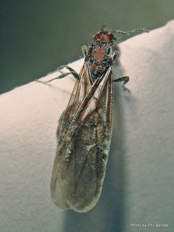 1-Flying ant-001.JPG