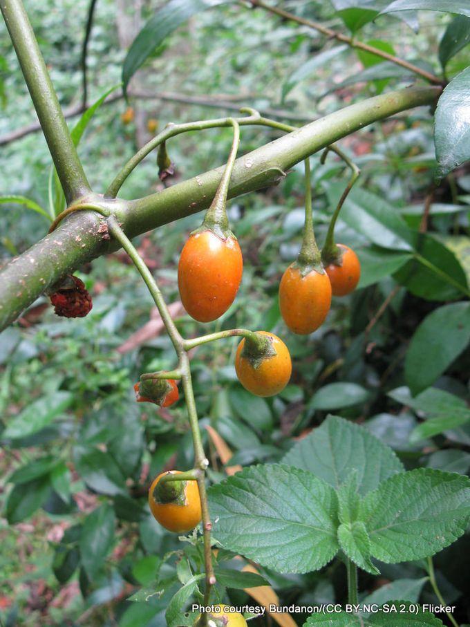 1-Fruit of Solanum aviculare .jpg