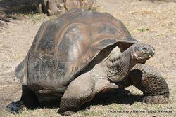 Phil Bendle Collection:Tortoise (Galápagos) Chelonoidis nigra