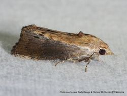 Phil Bendle Collection:Galleria mellonella (Greater wax moth)