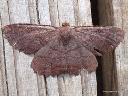 Phil Bendle Collection:Gellonia pannularia (Lesser brown evening moth)