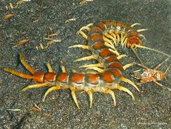 Phil Bendle Collection:Centipede (Giant) Cormocephalus rubriceps