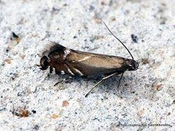 Phil Bendle Collection:Glyphipterix simpliciella (Cocksfoot moth)