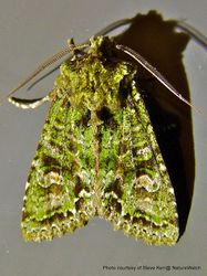 Phil Bendle Collection:Graphania plena (Green Carpet Owlet)