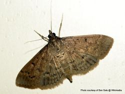 Phil Bendle Collection:Herpetogramma licarsisalis (Grass webworm moth)
