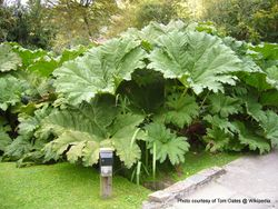 Phil Bendle Collection:Gunnera manicata (Giant rhubarb)