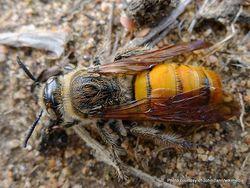 Phil Bendle Collection:Wasp (Yellow Flower Wasp) Radumeris tasmaniensis
