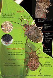 Phil Bendle Collection:Bug (Shield bug) (Brown marmorated stink bug) (Halyomorpha halys)