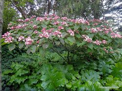 Phil Bendle Collection:Clerodendrum trichotomum (Harlequin glorybower)