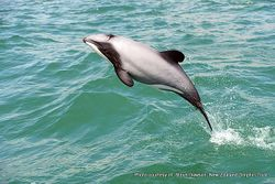 Phil Bendle Collection:Dolphin (Hector s) Cephalorhynchus hectori