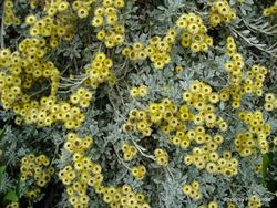 Phil Bendle Collection:Helichrysum argyrophyllum (Golden guinea everlasting)