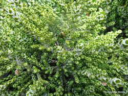 Phil Bendle Collection:Helichrysum selago var. tumidum