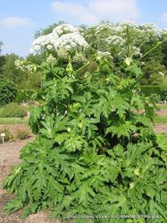 Phil Bendle Collection:Heracleum mantegazzianum (Giant hogweed)