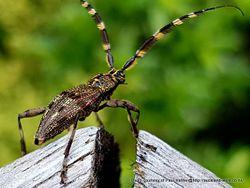 Phil Bendle Collection:Beetle (Squeaking longhorn) Hexatricha pulverulenta