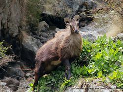 Phil Bendle Collection:Tahr (Hemitragus jemlahicus)