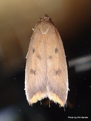 Phil Bendle Collection:Hofmannophila pseudospretella (Brown house moth)