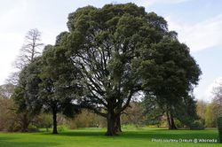 Phil Bendle Collection:Quercus ilex (Holm oak)