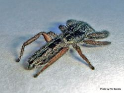Phil Bendle Collection:Jumping spider (Holoplatys species) Crevice spider