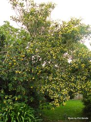 Phil Bendle Collection:Hymenosporum flavum (Australian frangipani)