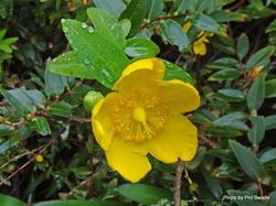 Phil Bendle Collection:Hypericum patulum (Goldencup St. Johnswort)
