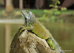 Phil Bendle Collection:Lizard (Green) Iguana iguana