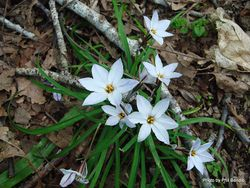 Phil Bendle Collection:Ipheion uniflorum (Spring starflower)