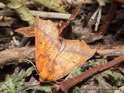 Phil Bendle Collection:Ischalis nelsonaria (Angled Fern Looper)