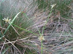 Phil Bendle Collection:Isolepis prolifera (Proliferating Bulrush) Native