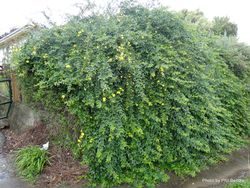 Phil Bendle Collection:Jasminum mesnyi (Primrose jasmine)