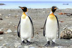 Phil Bendle Collection:Penguin (King) Aptenodytes patagonicus