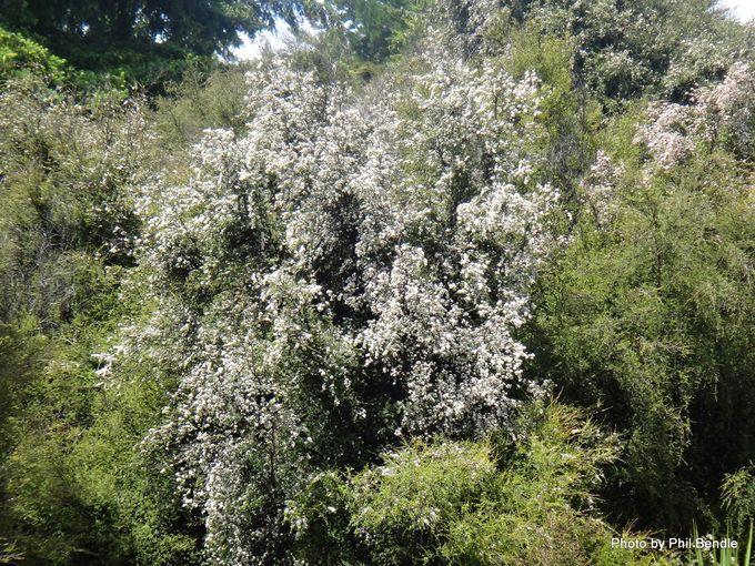 1-Kunzea ericoides Kanuka-001.JPG