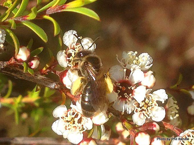 1-Kunzea ericoides Kanuka-006.JPG
