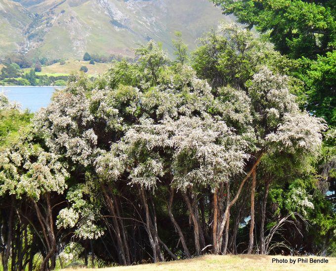 1-Kunzea ericoides Kanuka.JPG