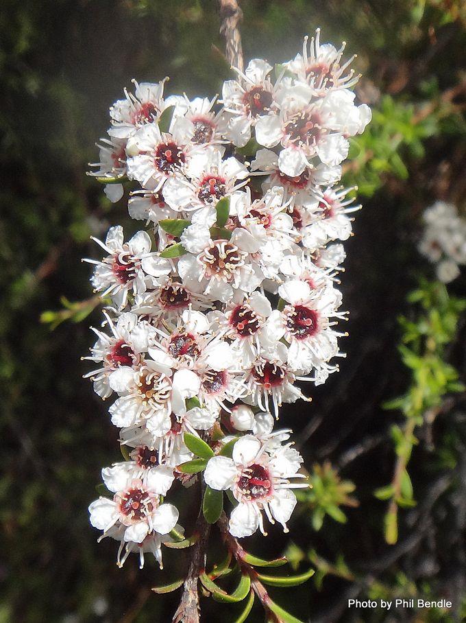 1-Kunzea ericoides Kanuka -002.JPG