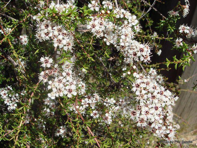1-Kunzea ericoides Kanuka .JPG
