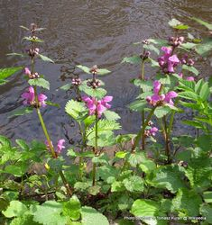 Phil Bendle Collection:Lamium maculatum (Spotted dead nettle)