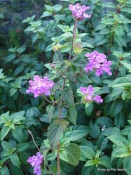Phil Bendle Collection:Lantana montevidensis (Trailing lantana)