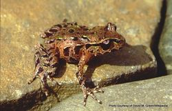 Phil Bendle Collection:Frog (Archey s frog NZ) Leiopelma archeyi