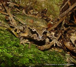 Phil Bendle Collection:Frog (Hamilton s frog) Leiopelma hamiltoni