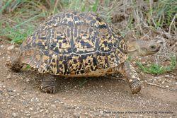 Phil Bendle Collection:Tortoise (Leopard) Stigmochelys pardalis