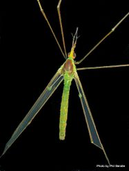 Phil Bendle Collection:Cranefly (Green) Leptotarsus virescens