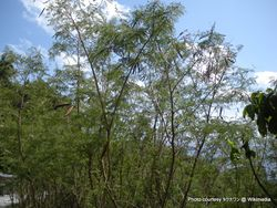 Phil Bendle Collection:Leucaena leucocephala (Wild Tamarind)