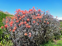 Phil Bendle Collection:Leucospermum reflexum (Sky-rocket leucospermum)