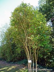 Phil Bendle Collection:Ligustrum japonicum (Japanese privet)