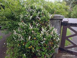 Phil Bendle Collection:Ligustrum japonicum 'Rotundifolium' (Japanese privet)
