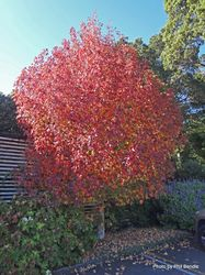 Phil Bendle Collection:Liquidambar styraciflua (American sweetgum)