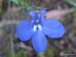 Phil Bendle Collection:Lobelia erinus (Dwarf blue lobelia)