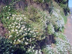 Phil Bendle Collection:Lobularia maritima (Sweet Alyssum)