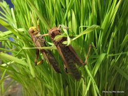 Phil Bendle Collection:Locust (Migratory) Locusta migratoria
