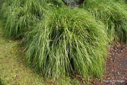 Phil Bendle Collection:Lomandra longifolia (Spiny headed mat rush) Exotic